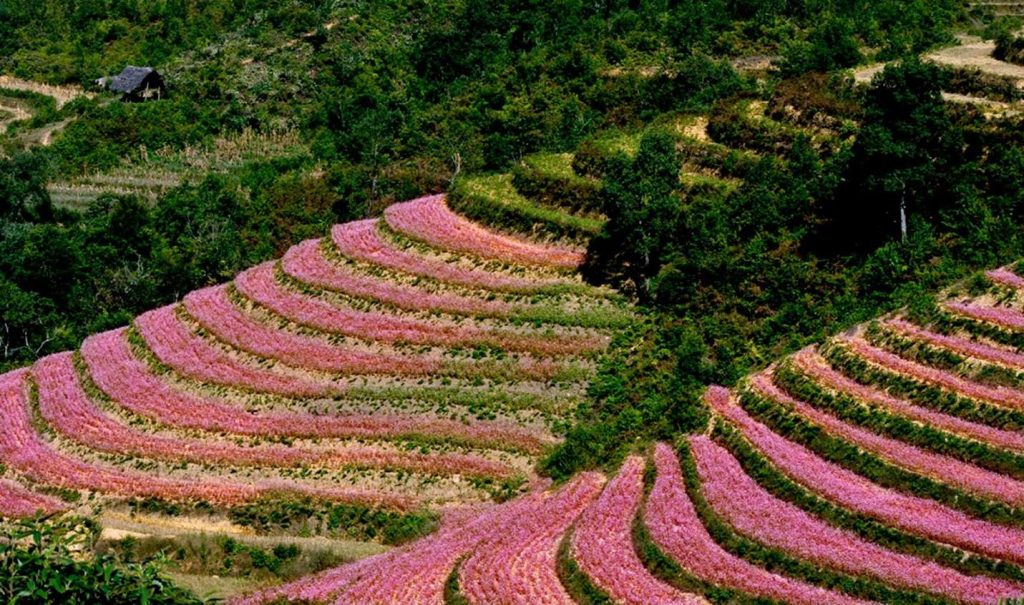 Lễ hội hoa tam giác mạch Hà Giang năm 2020