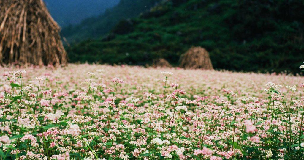 Hoa tam giác mạch là gì