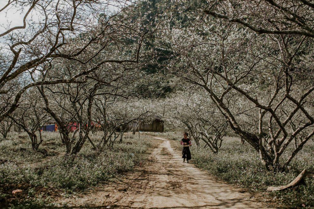 Ngắm hoa mận Mộc Châu dịp Tết dương lịch 2021