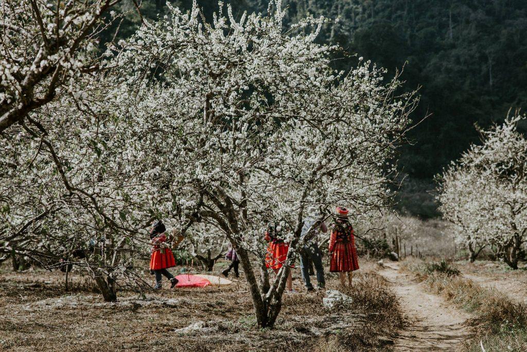 Hoa mận Mộc Châu trắng tinh khôi dịp Tết dương lịch 2021