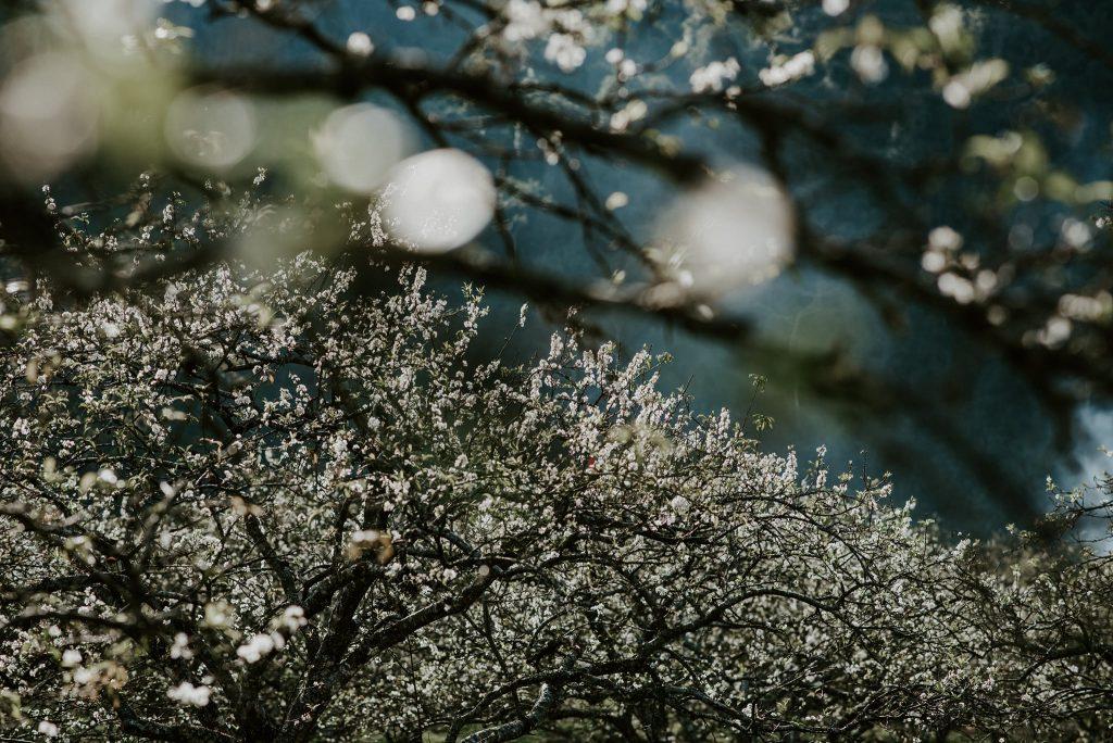 Cánh hoa mận trắng tinh khôi