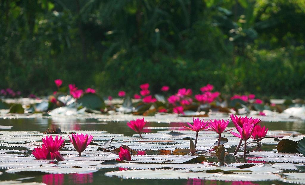 mùa hoa súng chùa Hương