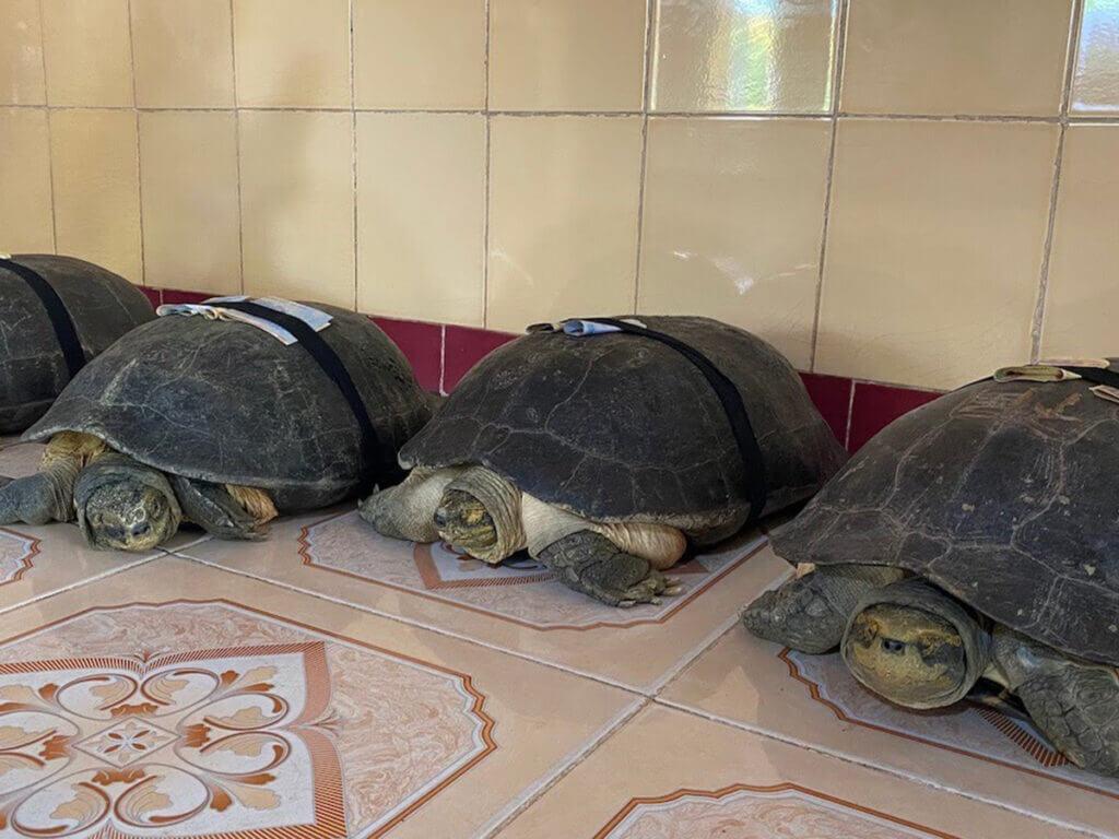 cụ rùa