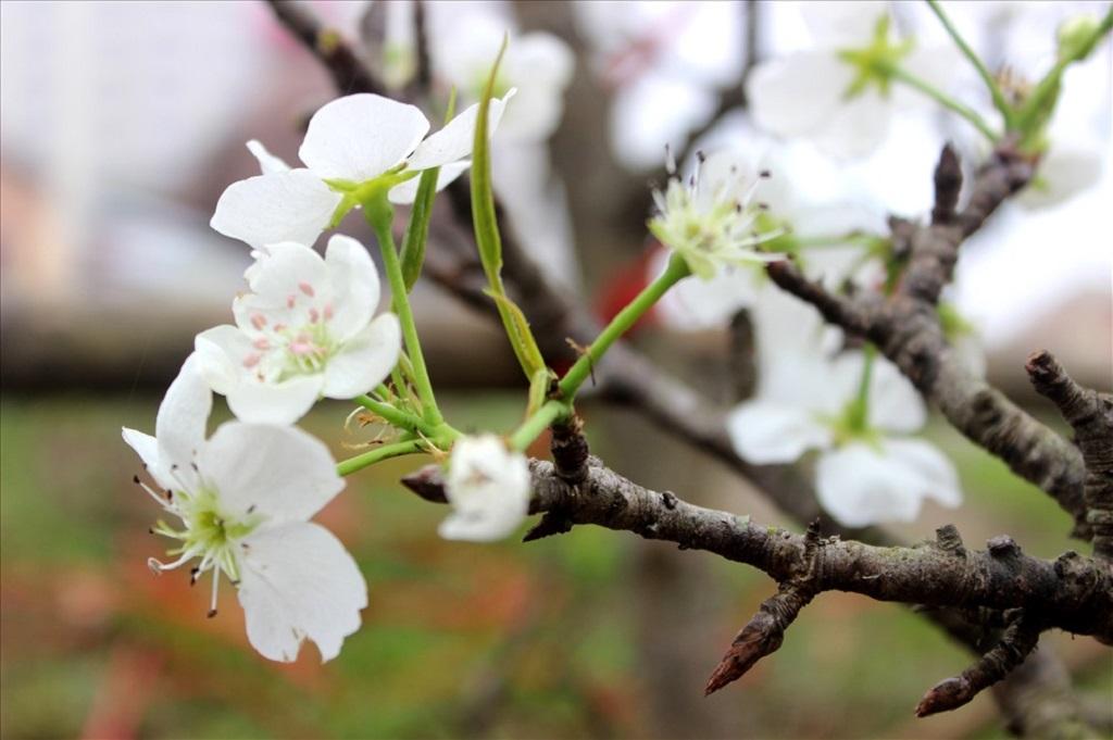 Hoa lê trắng đẹp thuần khiết