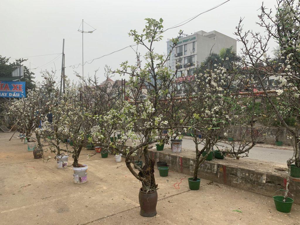 Hoa lê ở Hà Nội
