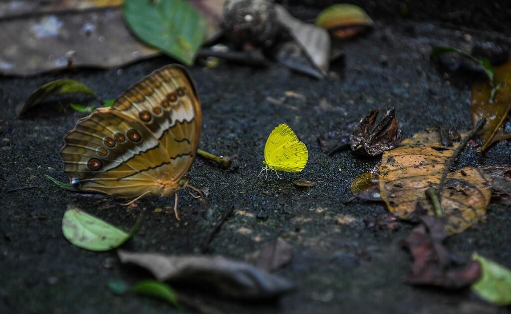 săn bướm