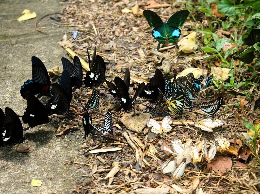 Cúc Phương mùa bướm