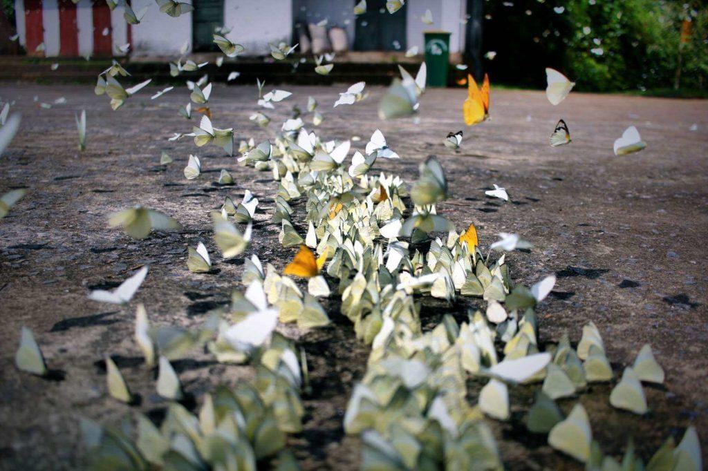 bướm cúc phương