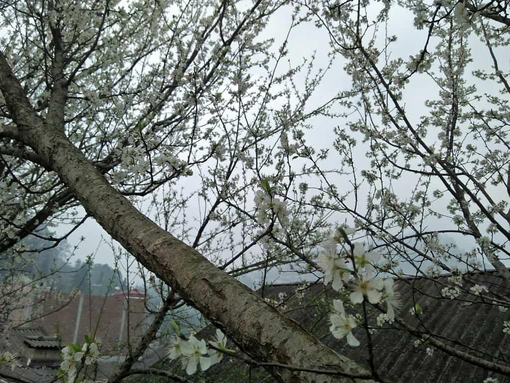 Mùa xuân Si Ma Cai phủ đầy hoa