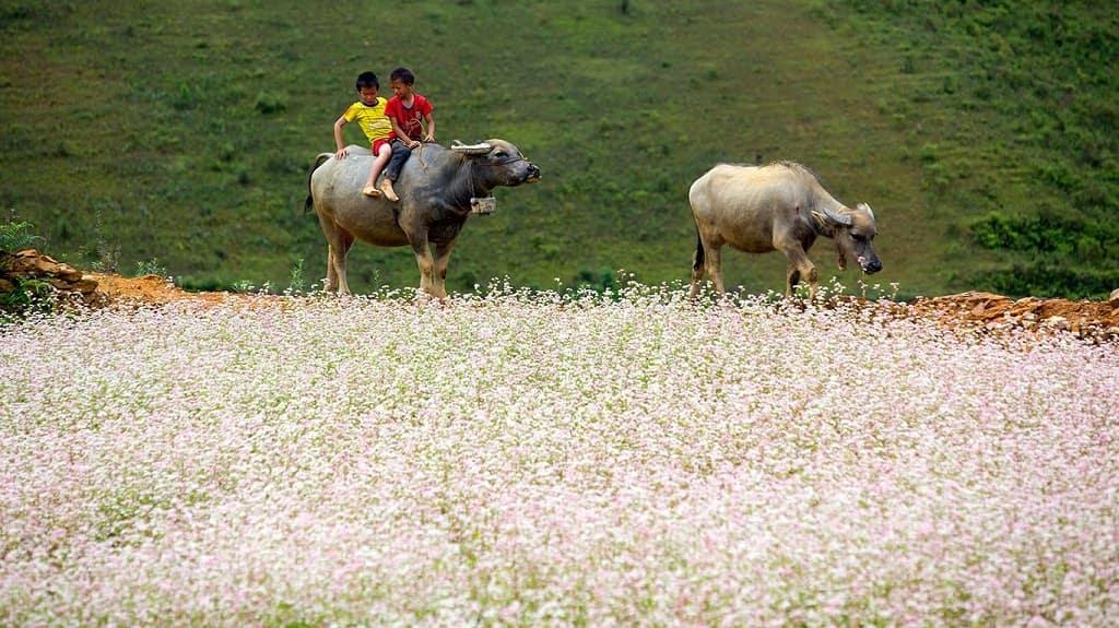 Du lịch Si Ma Cai mùa thu ngắm hoa tam giác mạch